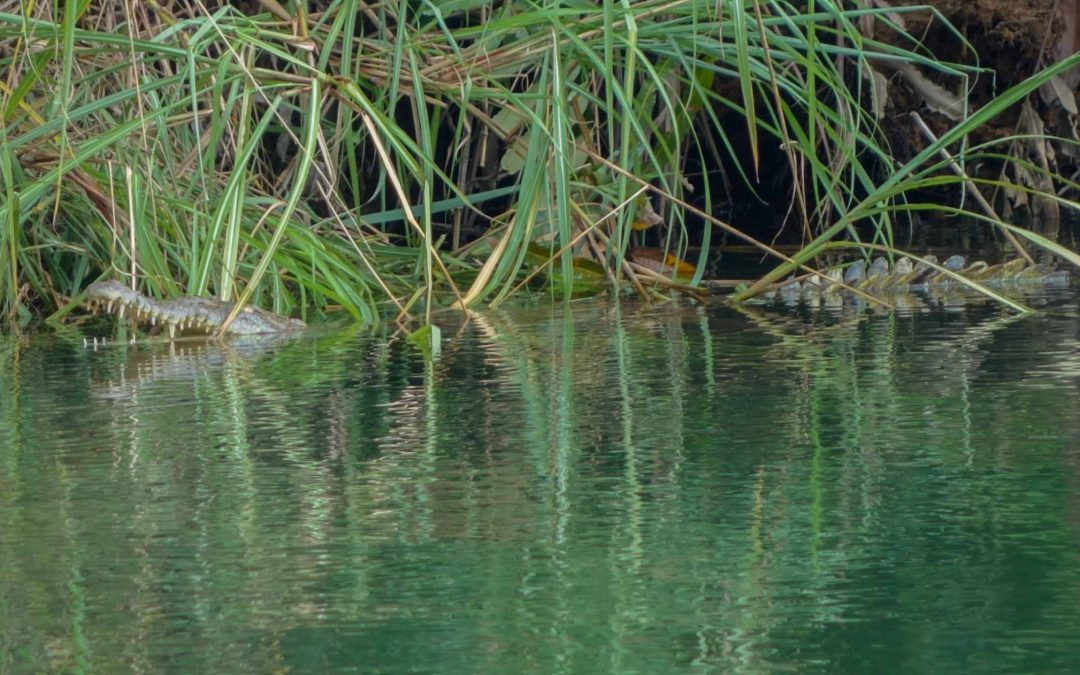 Crocodiles in San Blas